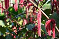 Red catkins Khlong Chao Lueam.jpg