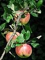 Reife Äpfel im September 2010.JPG
