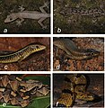 Reptile species (10.3897-zse.96.51997) Figure 6.jpg