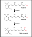 Retinoic Acid synthesis.png