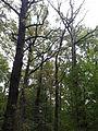 Rezerwat przyrody Dęby w Meszczach 11.28.jpg
