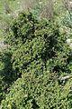 Rhamnus lycioides kz1.jpg