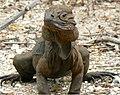RhinoIguanaMay07Pedernales.jpg