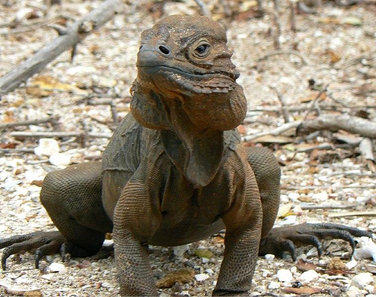 Male Rhino Iguana