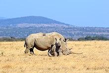 Rhino in Solio Reserve.jpg