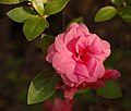 Rhododendron 'Rosebud' Flower 2153px.jpg