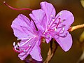 Rhododendron mucronulatum (15618337959).jpg