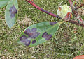 Rhododendron ponticum Cercospora handelii, pontische rododendron Cercospora handelii (2).jpg