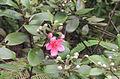 Rhodomyrtus tomentosa.jpg