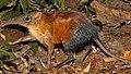 Rhynchocyon udzungwensis Tanzania F. Rovero 1.jpg