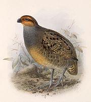 Rhynchortyx cinctus