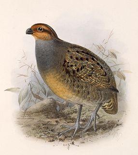 Tawny-faced quail Species of bird