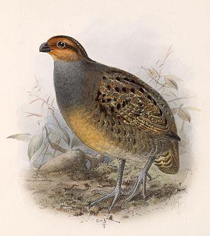 Tawny-faced quail - Image: Rhynchortyx cinctus