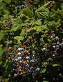 Ribes sanguineum B.jpg