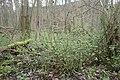 Ribes uva-crispa kz01.jpg
