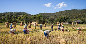 Rice farmers Mae Wang Chiang Mai Province