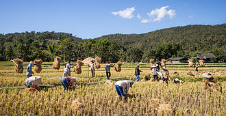 Economy of Thailand - Image: Rice farmers Mae Wang Chiang Mai Province