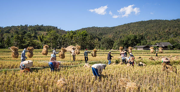 Thailand has long been one of the largest rice exporters in the world. Forty-nine percent of Thailand's labour force is employed in agriculture. Rice farmers Mae Wang Chiang Mai Province.jpg
