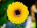 Ringelblume, Calendula officinalis (03).jpg