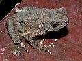 River Toad (Phrynoidis aspera) (6731222373).jpg