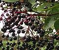 Riverside elderberries - geograph.org.uk - 542452.jpg