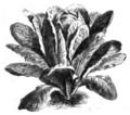 Romaine royale verte Vilmorin-Andrieux 1883.png