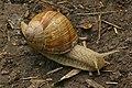 Roman Snail (Helix pomatia) - geograph.org.uk - 1348941.jpg