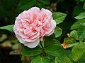 Rosa 'Maxima Romantica' 01.jpg