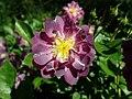 Rosa Veilchenblau 2019-06-14 2109.jpg
