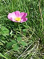 Rosa gallica sl14.jpg