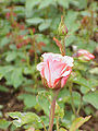 Rosa sp.276.jpg