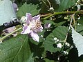 Rosales - Rubus fruticosus - 38.jpg