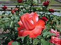 Rose,Annie Girardot,バラ,アニー ジラルド, (8116517348).jpg