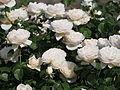 Rose, Charlotte, バラ,シャーロット, (9510676920).jpg