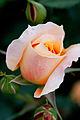 Rose, Manyo - Flickr - nekonomania (7).jpg