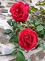 Roses..... - panoramio.jpg