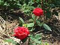 Roses in Odessa Botanical garden.jpg