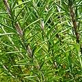 Rosmarinus officinalis (Lamiaceae) 01.jpg