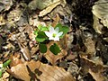 Rue Anemone Nature Hike Duke Forest Durham NC 0271 (26602538791).jpg