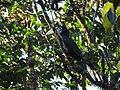 Rufous-necked Hornbill DSCN1385 01.jpg