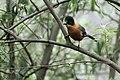 Rufous Sibia Jung Tawang district Arunachal Pradesh March 2019 eastern most distribution of the species.jpg