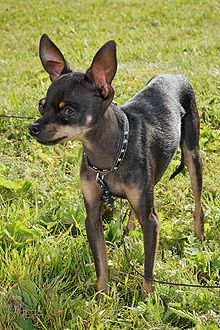 """A black dog with brown markings. It's ears notably stand on end, and it wears a black studded collar."""