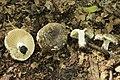 Russula nigricans 50158990.jpg