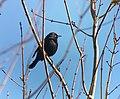 Rusty Blackbird (38624442665).jpg
