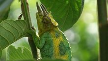 Ruwenzori three-horned chameleon - close up.JPG