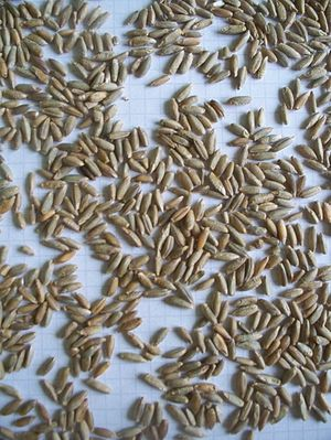 Rye - Rye grains