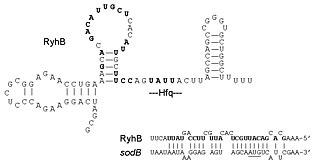 RyhB - Image: Ryh B sod B