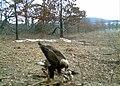 SK - Golden Eagle (5445668004).jpg