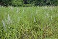 Saccharum spontaneum - Indian Botanic Garden - Howrah 2012-09-20 0176.JPG