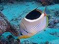 Saddled butterflyfish (Chaetodon ephippium) (32396204897).jpg
